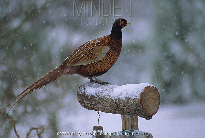 Ring-necked Pheasant (Phasianus colchicus) male on bird feeder in snowstorm  -  Stephen Dalton