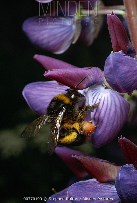 Bumblebee (Bombus sp) queen collecting pollen and nectar from leguminous flower  -  Stephen Dalton