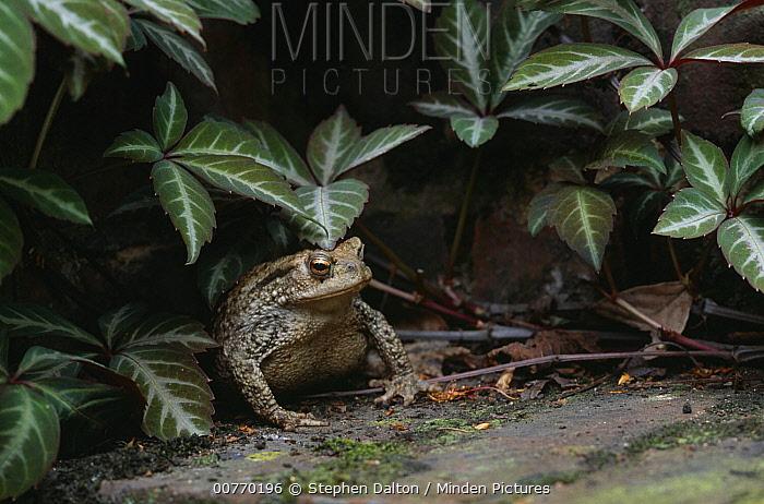 European Toad (Bufo bufo) portrait, under vegetation  -  Stephen Dalton
