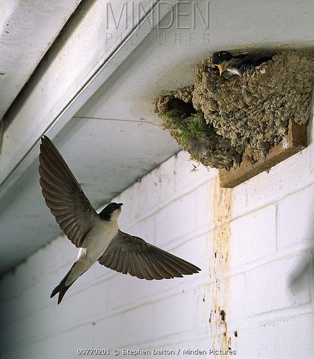 Common House Martin (Delichon urbicum) visiting nest  -  Stephen Dalton