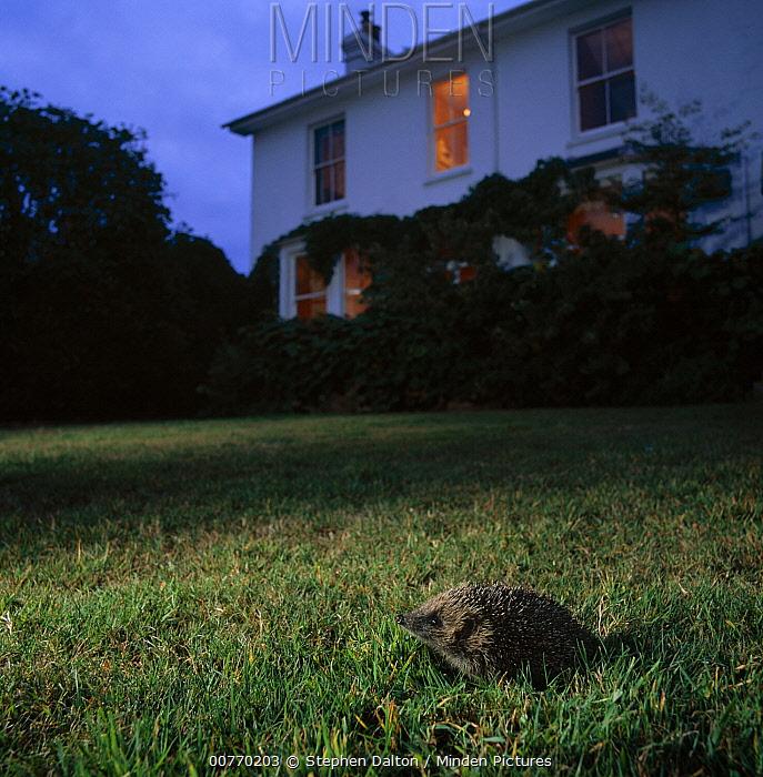 Brown-breasted Hedgehog (Erinaceus europaeus) on garden lawn at dusk  -  Stephen Dalton