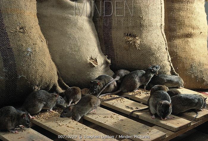 Brown Rat (Rattus norvegicus) group raiding grain store  -  Stephen Dalton