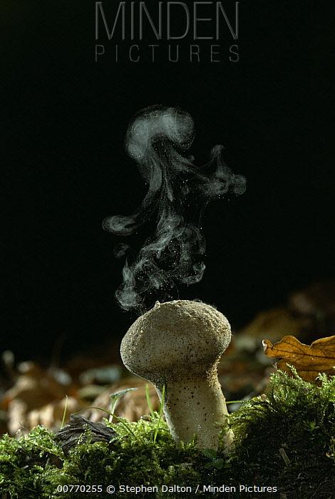 Club Fungus (Lycoperdon sp) disbursing spores into air, edible when young  -  Stephen Dalton