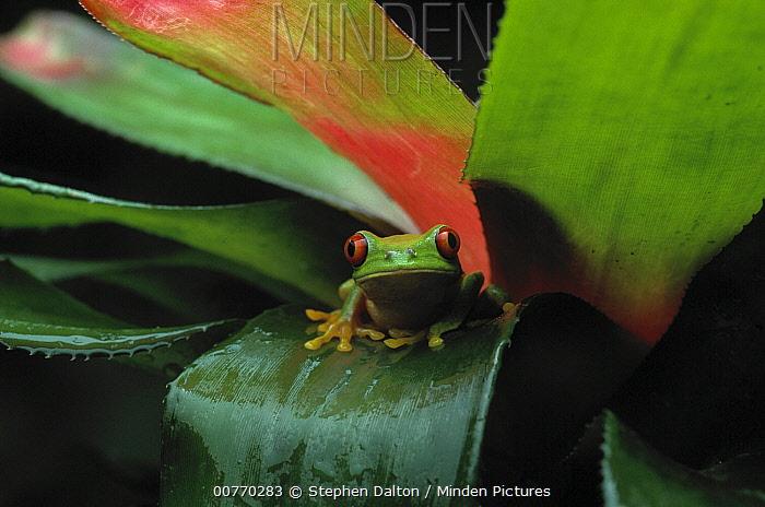 Red-eyed Tree Frog (Agalychnis callidryas) on bromeliad  -  Stephen Dalton