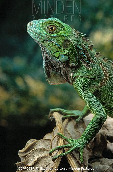Green Iguana (Iguana iguana)  -  Stephen Dalton