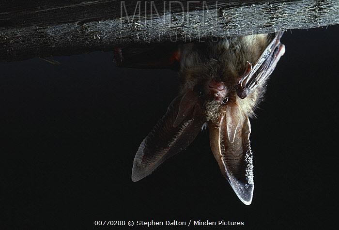 Brown Long-eared Bat (Plecotus auritus) roosting in attic  -  Stephen Dalton