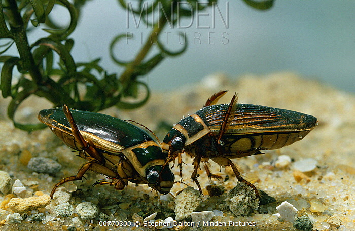 Great Diving Beetle (Dytiscus marginalis) male and female  -  Stephen Dalton
