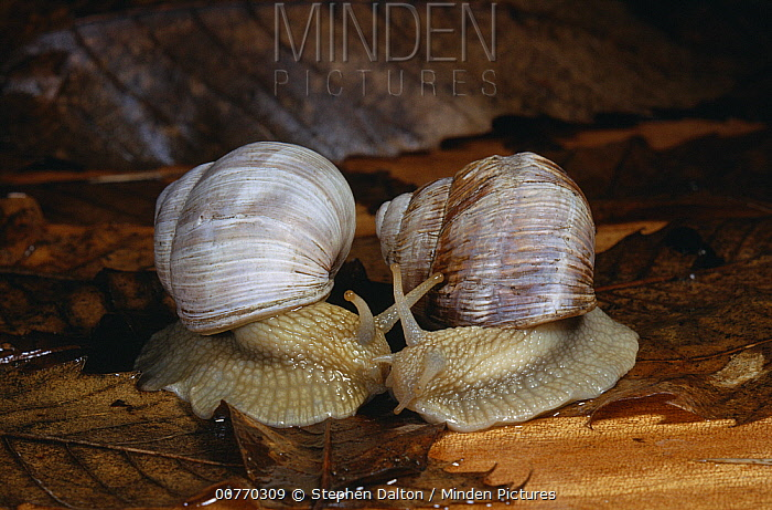 Edible Snail (Helix pomatia) pair in courtship  -  Stephen Dalton