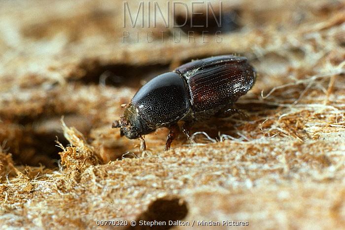 Large Elm Bark Beetle (Scolytus scolytus) vector of dutch elm disease  -  Stephen Dalton
