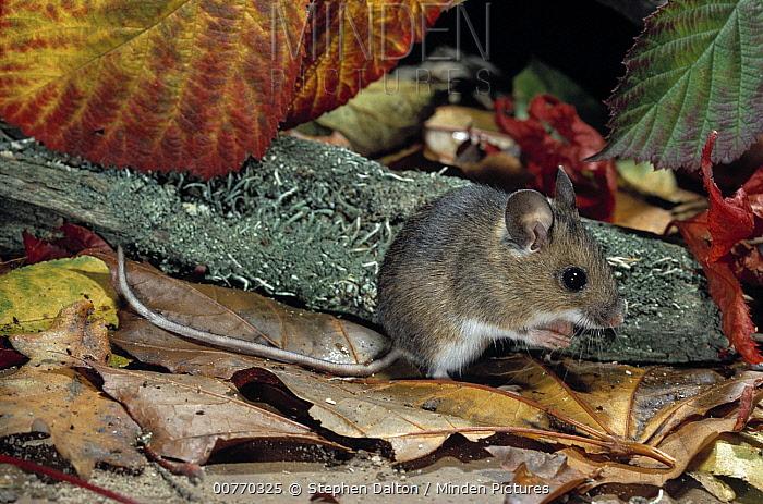 Wood Mouse (Apodemus sylvaticus) amongst leaf litter  -  Stephen Dalton