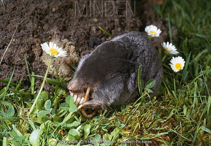 European Mole (Talpa europaea) eating a worm  -  Stephen Dalton