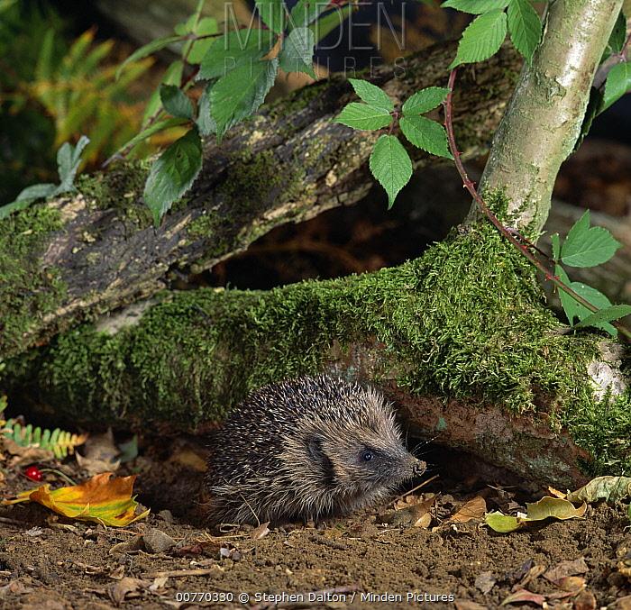 Brown-breasted Hedgehog (Erinaceus europaeus) emerging from under log  -  Stephen Dalton