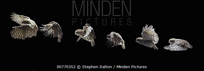 Little Owl (Athene noctua) flying  -  Stephen Dalton