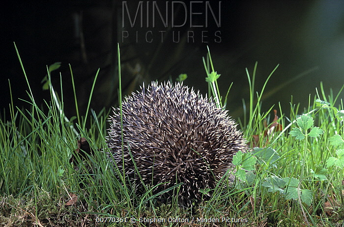 Brown-breasted Hedgehog (Erinaceus europaeus) rolled into ball as defense  -  Stephen Dalton