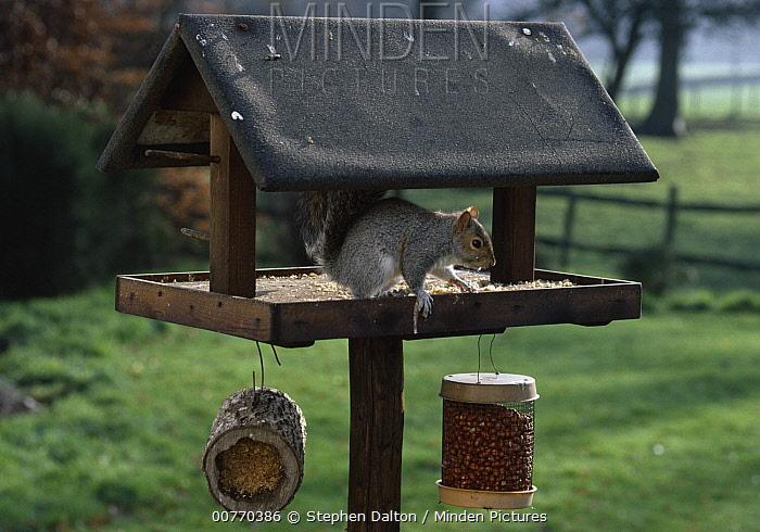 Eastern Gray Squirrel (Sciurus carolinensis) at bird feeder  -  Stephen Dalton