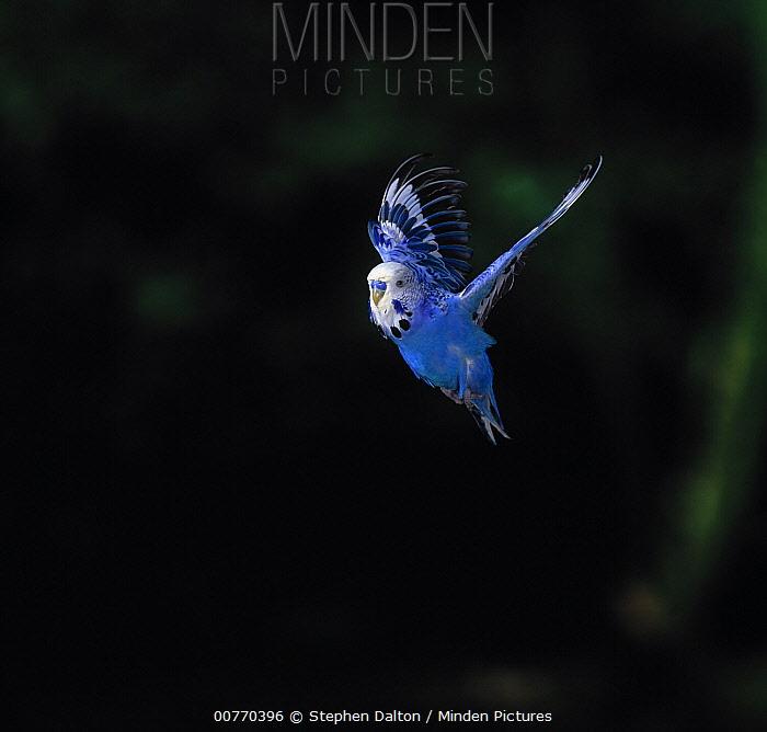 Budgerigar (Melopsittacus undulatus) flying  -  Stephen Dalton