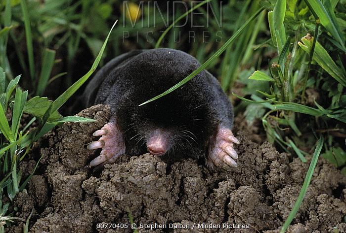European Mole (Talpa europaea) emerging from molehill  -  Stephen Dalton