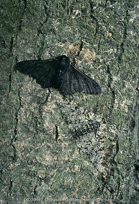 Peppered Moth (Biston betularia) normal white color and melanistic form, melanistic form is better camouflaged in areas where lichen growth is inhibited by industrial pollution, Europe  -  Stephen Dalton