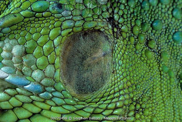 Green Iguana (Iguana iguana) ear, tympanic membrane  -  Stephen Dalton