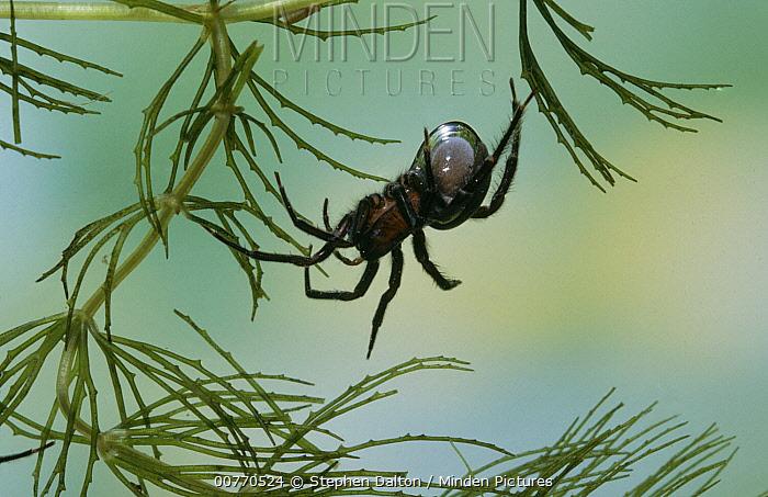 Water Spider (Argyroneta aquatica) underwater, note air bubble  -  Stephen Dalton