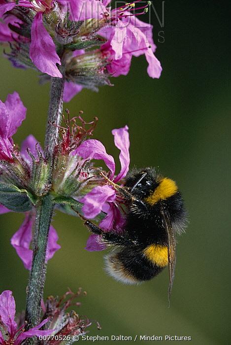 White-tailed Bumblebee (Bombus lucorum) collecting nectar from flower  -  Stephen Dalton