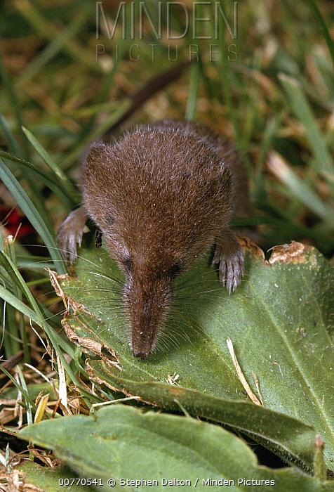 Pygmy Shrew (Sorex minutus) looking over leaf  -  Stephen Dalton