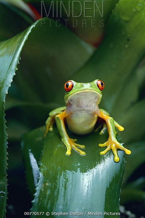 Red-eyed Tree Frog (Agalychnis callidryas) on bromeliad, Central America  -  Stephen Dalton