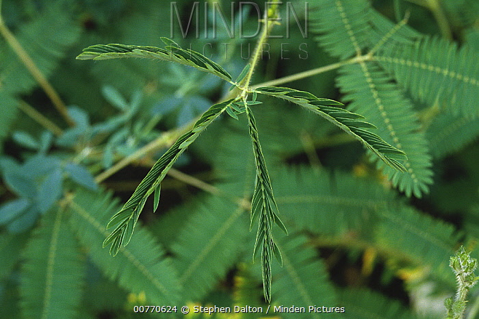 Minden Pictures Stock Photos Sensitive Mimosa Mimosa Pudica