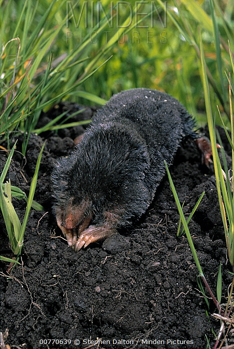 European Mole (Talpa europaea) digging at molehill  -  Stephen Dalton