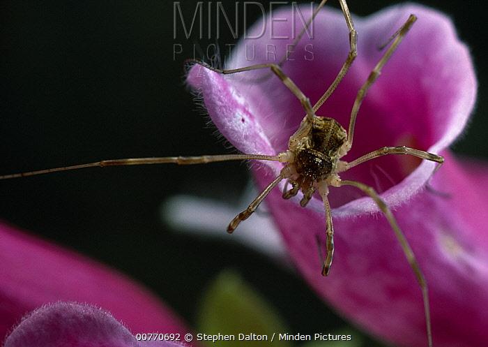 Daddy-Long-Legs Spider (Pholcus phalangioides) on flower  -  Stephen Dalton