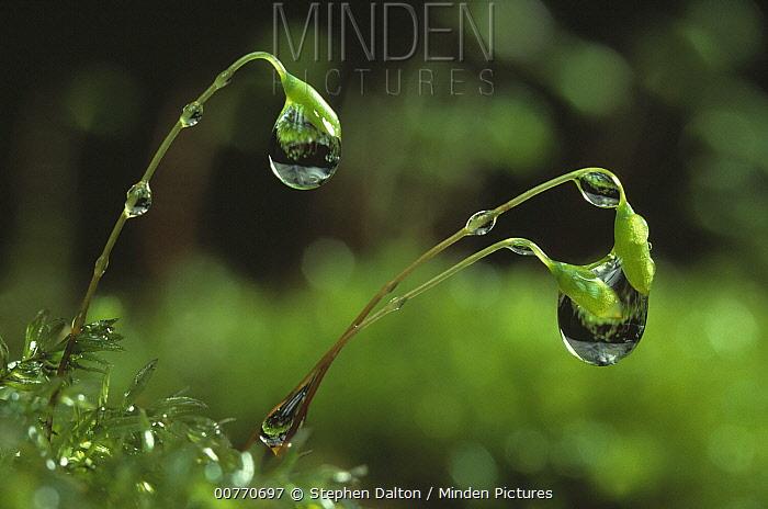 Moss capsules and raindrops, capsules contain sporangia which produce the spores  -  Stephen Dalton