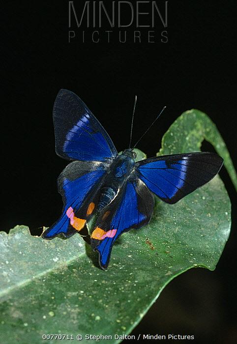 Metalmark Butterfly (Rhetus periander) on leaf  -  Stephen Dalton