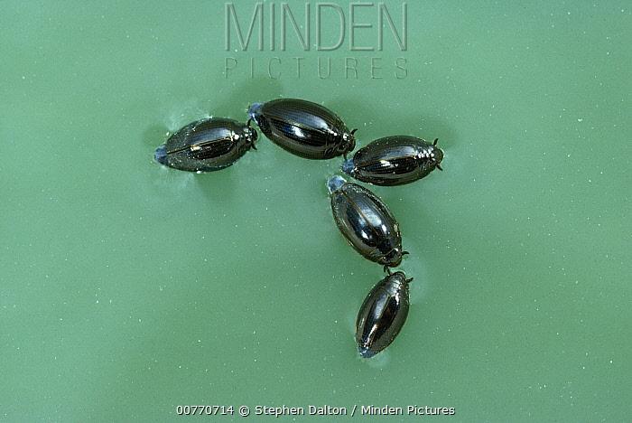 Whirligig Beetle (Gyrinidae) group on water surface  -  Stephen Dalton