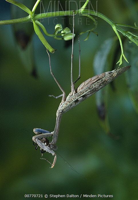 Mantid (Mantidae) with prey  -  Stephen Dalton