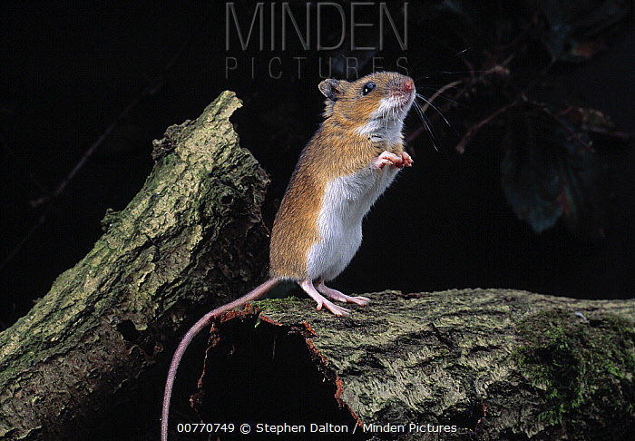 Yellow-necked Field Mouse (Apodemus flavicollis) rearing watchfully on hind legs  -  Stephen Dalton