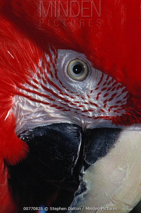 Red and Green Macaw (Ara chloroptera) face  -  Stephen Dalton