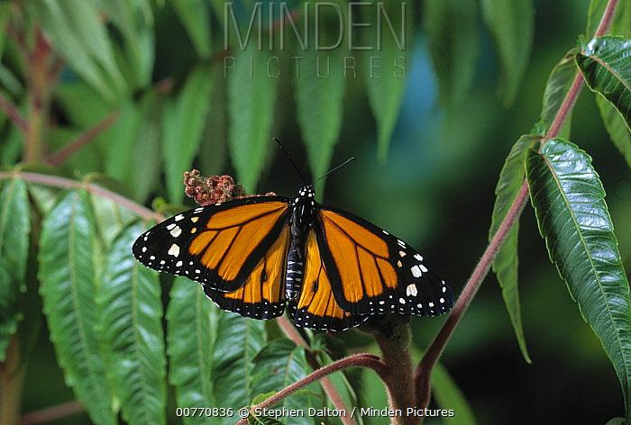 Monarch (Danaus plexippus) butterfly  -  Stephen Dalton