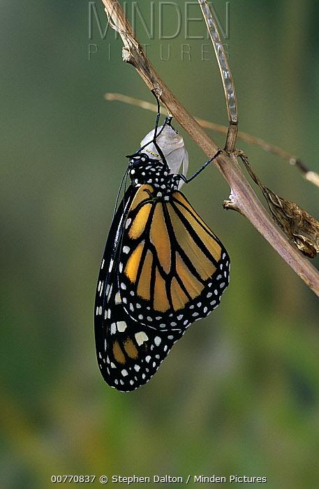 Monarch (Danaus plexippus) butterfly drying wings after emerging from chrysalis  -  Stephen Dalton