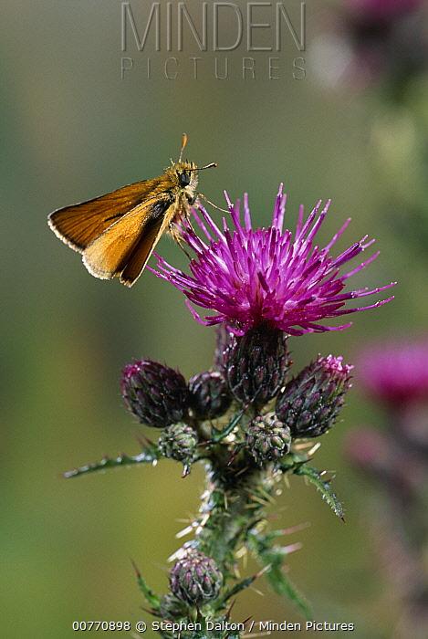 Small Skipper (Thymelicus flavus) butterfly on knapweed  -  Stephen Dalton