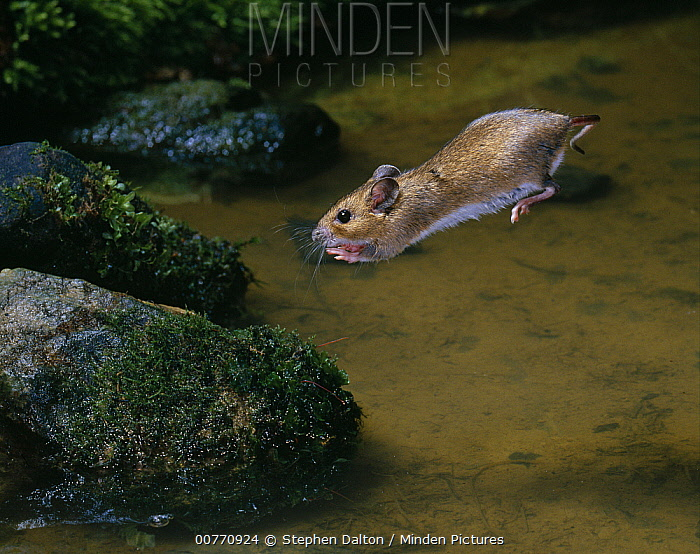 Wood Mouse (Apodemus sylvaticus) leaping across water  -  Stephen Dalton