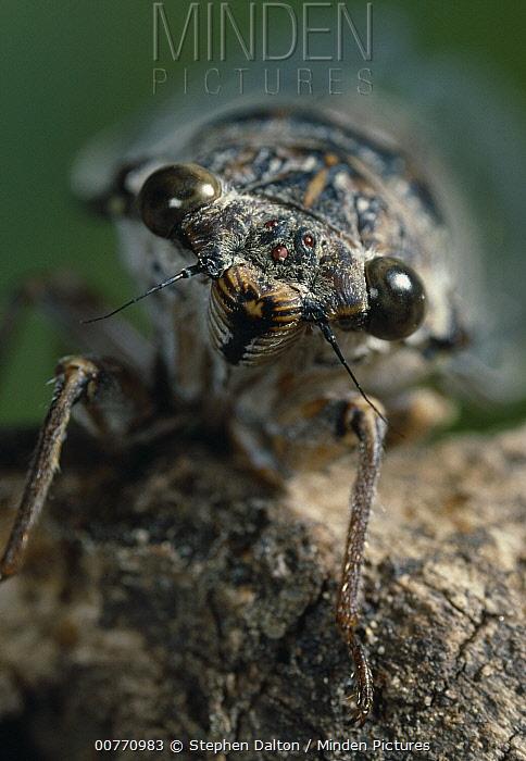 Cicada (Cicada orni) head and face  -  Stephen Dalton
