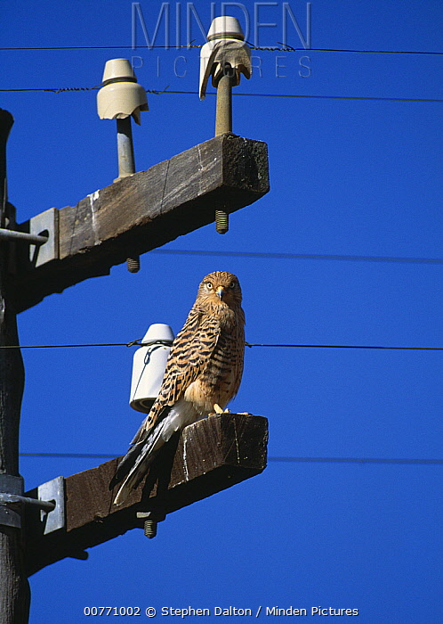 Greater Kestrel (Falco rupicoloides) on electric pole  -  Stephen Dalton