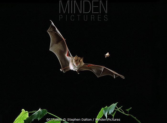 Greater Horseshoe Bat (Rhinolophus ferrumequinum) pursuing moth  -  Stephen Dalton