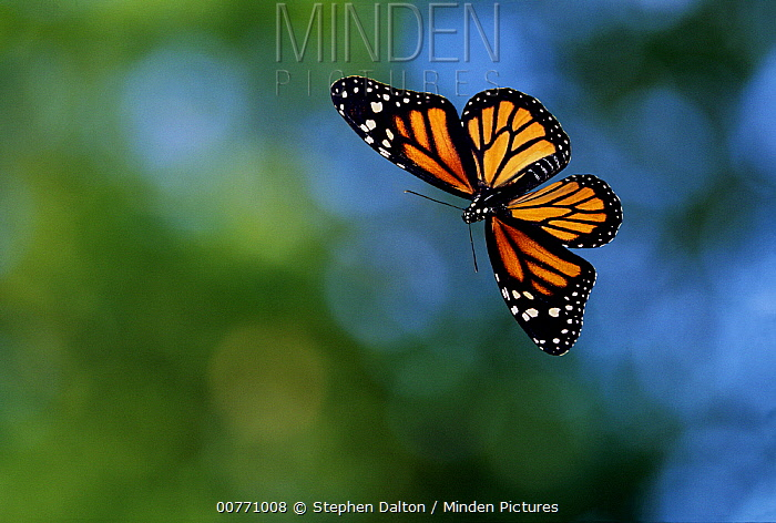 Monarch (Danaus plexippus) butterfly flying  -  Stephen Dalton