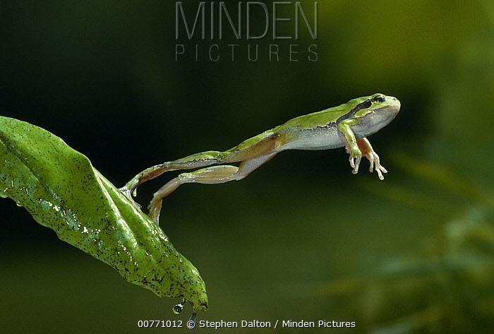 European Tree Frog (Hyla arborea) leaping  -  Stephen Dalton