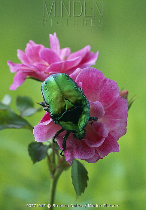 Flower Beetle (Cetonia cuprea) on rose  -  Stephen Dalton