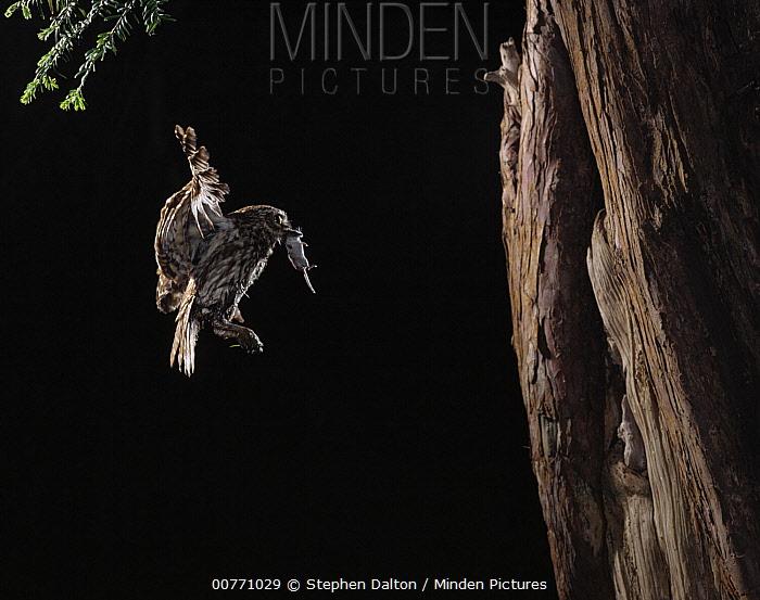 Little Owl (Athene noctua) flying to nest carrying shrew prey  -  Stephen Dalton