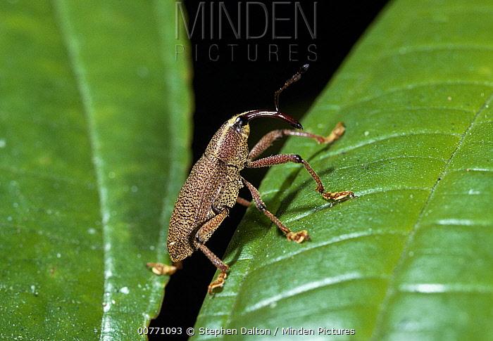 True Weevil (Curculionidae) on smooth leaf, Venezuela  -  Stephen Dalton