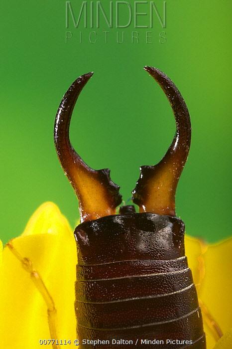 Common Earwig (Forficula auricularia) pinchers  -  Stephen Dalton