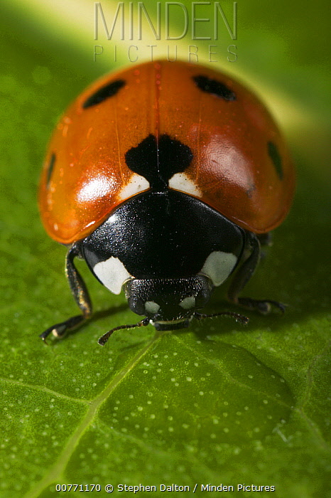Seven-spotted Ladybird (Coccinella septempunctata) close up on leaf  -  Stephen Dalton
